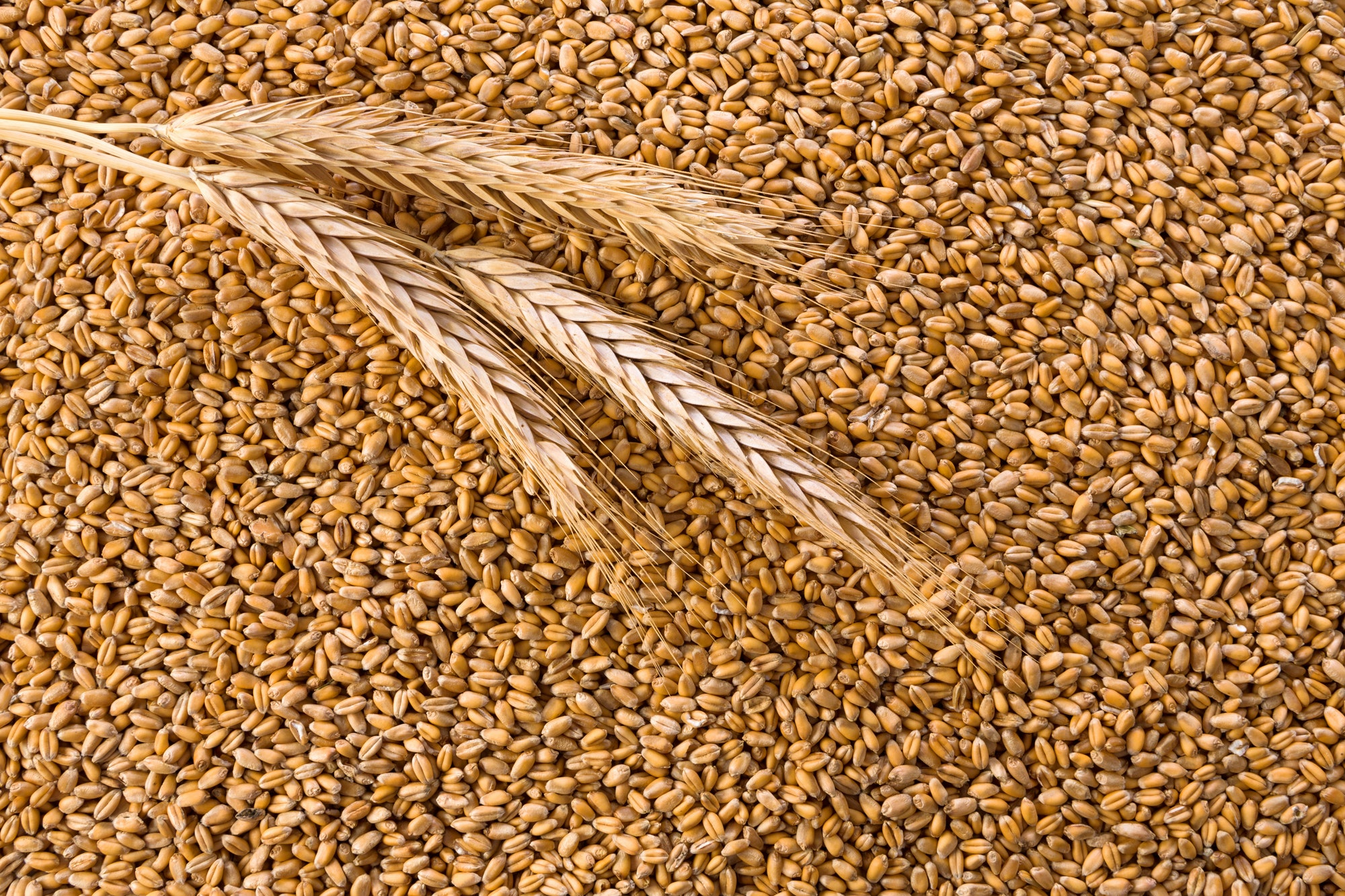 Processed organic wheat grains background